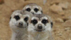 Adoptovali jsme surikatu z jihlavské ZOO